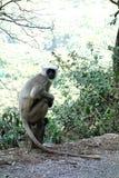 叶猴坐路的边 库存图片