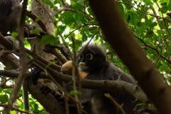 叶猴猴子 库存图片