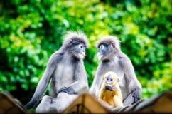 叶猴家庭 免版税图库摄影