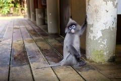 叶猴,叶子猴子 免版税库存图片
