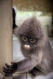 叶猴,叶子猴子 免版税库存照片