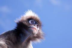 叶猴猴子 免版税库存照片
