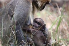 叶猴 免版税库存照片