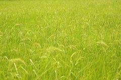 水稻绿叶 免版税图库摄影