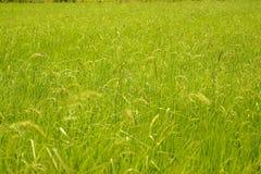 水稻绿叶 库存图片