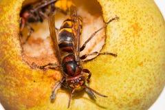吃一个成熟黄色梨的欧洲大黄蜂(大黄蜂类Crabro) 免版税图库摄影