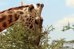 吃一个棘手的金合欢结构树的长颈鹿 免版税库存照片