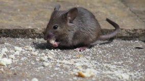 吃一个烤饼的老鼠在房子庭院里 股票录像