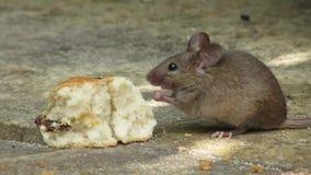 吃一个烤饼的老鼠在房子庭院里 股票视频