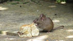 吃一个烤饼的老鼠在房子庭院里 影视素材