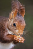 红松鼠画象 库存图片