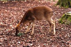 吃一个针叶树分支的年轻欧洲鹿孩子在冬天森林里 免版税库存照片