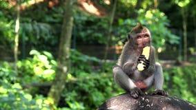 吃一个香蕉的逗人喜爱的小猴子在密林 股票录像