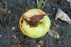 吃一个黄色苹果的黄蜂 免版税库存图片