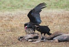 吃一匹腐烂的马的火鸡兀鹰 免版税库存图片