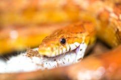 吃一只小的老鼠的玉米蛇 库存图片