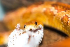吃一只小的老鼠的玉米蛇 库存照片