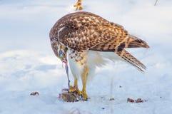 吃一只灰鼠的红被盯梢的鹰在一个多雪的冬日在密西西比河附近在米尼亚波尼斯明尼苏达 库存照片