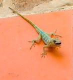 吃一只甲虫的蜥蜴在热带 库存照片