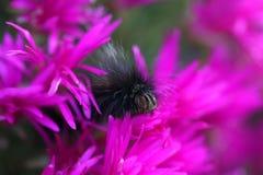 吃一朵紫色花的毛虫 图库摄影