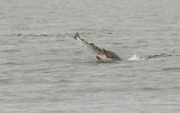 吃一条大三文鱼鱼的宽吻海豚Tursiops truncatus 库存照片