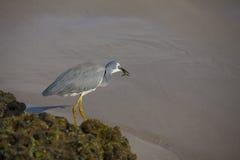 吃一条小鱼的小白鹭 免版税库存图片