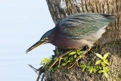 吃一条小鱼-墨尔本,佛罗里达的绿色苍鹭 免版税库存照片