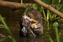 吃一条鱼的一只巨型水獭在潘塔纳尔湿地,巴西 免版税库存照片
