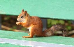 吃一枚可口坚果的灰鼠 免版税库存图片