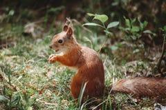 吃一枚坚果的微笑的灰鼠在森林 免版税库存图片