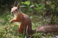 吃一枚坚果的微笑的灰鼠在森林 库存图片