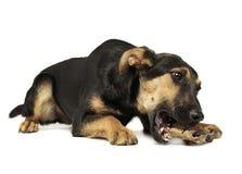 吃一根骨头的混杂的品种狗在一个白色照片演播室 免版税图库摄影