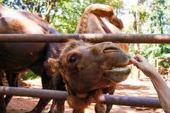 吃一棵红萝卜的滑稽的骆驼在自然的夏天 库存图片