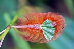 吃一片绿色叶子的橙色毛虫 库存照片