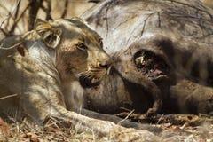 吃一头死的水牛的雌狮在克鲁格国家公园 免版税图库摄影