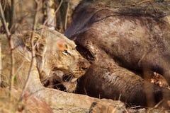 吃一头死的水牛的雌狮在克鲁格国家公园 图库摄影