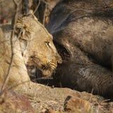 吃一头死的水牛的雌狮在克鲁格国家公园 库存图片