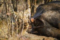 吃一头死的水牛的雌狮在克鲁格国家公园 免版税库存图片