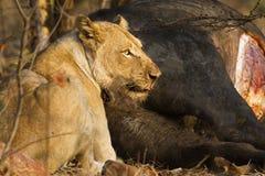 吃一头死的水牛的雌狮在克鲁格国家公园 库存照片