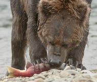 吃三文鱼的北美灰熊的特写镜头 免版税库存照片
