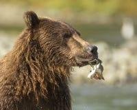 吃三文鱼的沿海棕熊 图库摄影