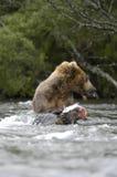 吃三文鱼的熊褐色 库存图片