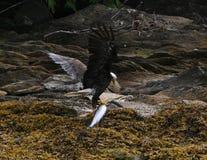 吃三文鱼的美国老鹰 库存图片