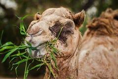 吃与他的嘴的老骆驼草 免版税库存照片