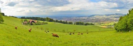 吃与伯尔尼市的母牛全景草在背景中 免版税库存照片