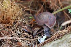 吃与宏观射击的蜗牛花 免版税库存图片