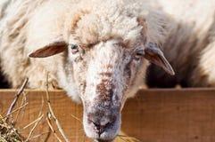 吃与牧群的一只母恼怒的绵羊的画象草 免版税图库摄影