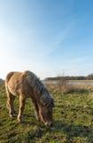 吃与白肤金发的鬃毛的冰岛马从关闭 图库摄影