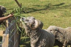 吃与草的饲料山羊 免版税库存照片