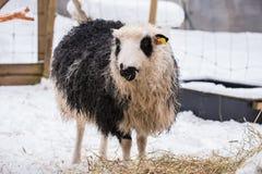 吃与雪的绵羊在背景中 免版税库存照片